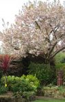 Not normally in flower for open gardens but a very good year for Cherry blossom.